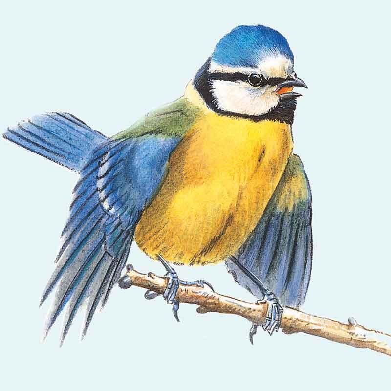 Blue Tit male