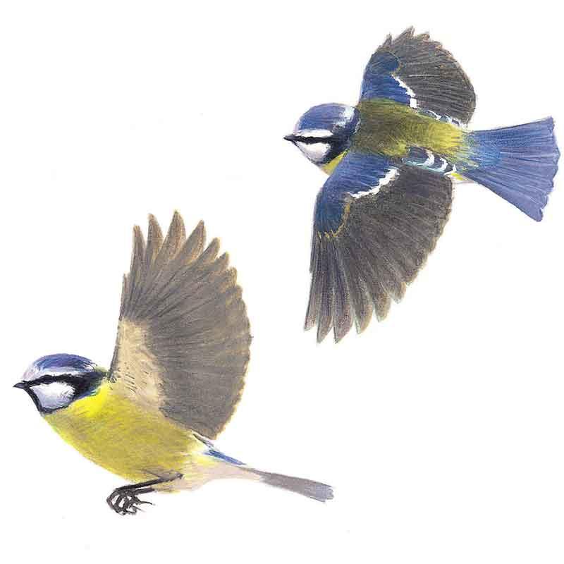 Blue Tits flying