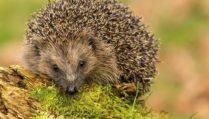 Gardening for hedgehogs